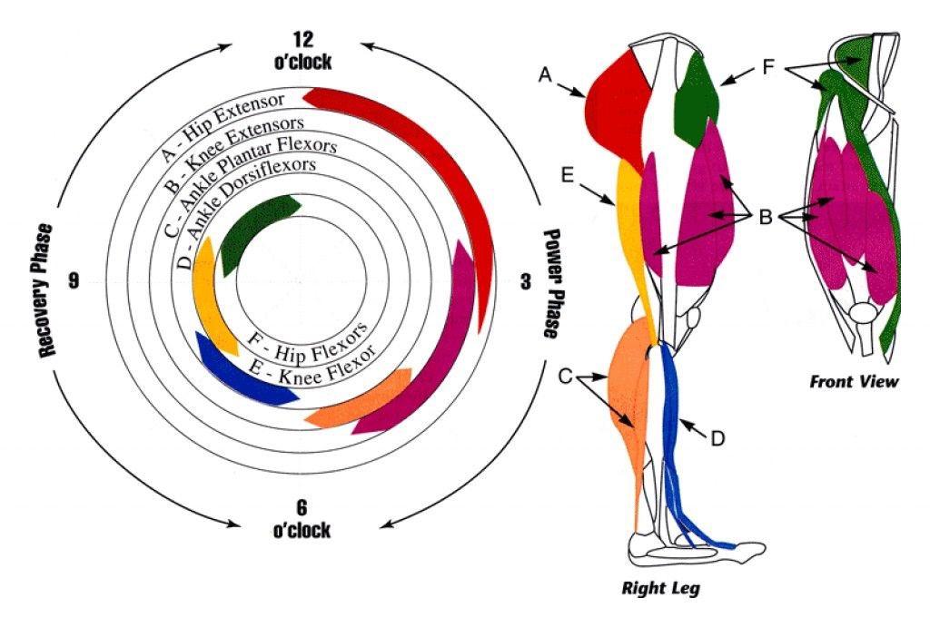 Какие мышцы работают при езде на велосипеде | wolf workout